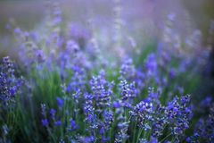 Lavender flowers in a soft focus and blur background. royalty free stock photography