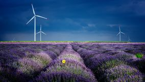 Lavender flowers in the spring with eolian mills Stock Photos