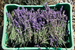 Lavender flowers and stems harvest Royalty Free Stock Photo