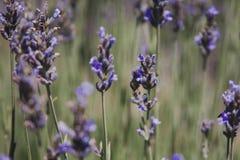 Lavender flowers. Summer lavender flowers stock photos