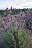 Lavender flowers in summer. Branch of lavender flowers in summer stock image