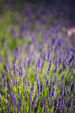 Lavender Flowers. Summer. Close up. Background Stock Photos