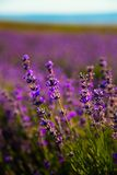 Lavender Flowers. In summer evening Royalty Free Stock Images
