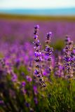 Lavender Flowers. In summer field Royalty Free Stock Images
