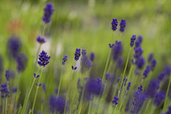 Lavender flowers in summer garden stock photos