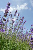 Lavender flowers in summer. Lavender flowers under blue sky in summer Royalty Free Stock Image