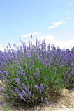 Lavender flowers in summer Royalty Free Stock Photography