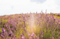 Lavender flowers. In the sun royalty free stock images