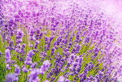 Lavender flowers in the sunlight Stock Image