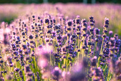Lavender flowers in the sunlight Royalty Free Stock Photos