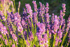 Lavender flowers in the sunlight Stock Images