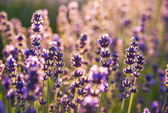 Lavender flowers in the sunlight Royalty Free Stock Photography
