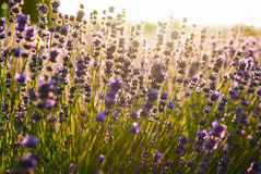 Lavender flowers in the sunlight Stock Photo