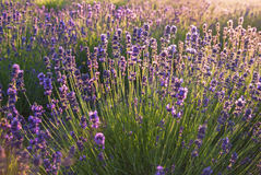 Lavender flowers in the sunlight Stock Photos