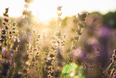 Lavender flowers in the sunlight Royalty Free Stock Image