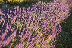 Lavender flowers in the sunlight Royalty Free Stock Images