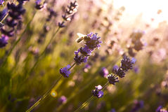 Lavender flowers in the sunlight Royalty Free Stock Photo