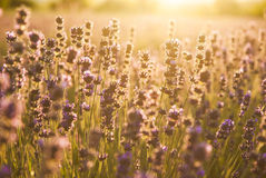 Lavender flowers in the sunlight Stock Photography