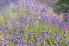 Lavender flowers at sunlight in a soft focus royalty free stock photography