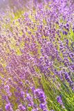 Lavender flowers at sunlight in a soft focus stock photo