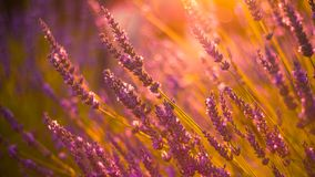 Lavender flowers and sunset nature colors. Blurred bokeh background and summer flowers royalty free stock image
