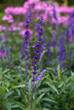 Lavender flowers. Sunset over a summer purple and pink lavender Royalty Free Stock Image