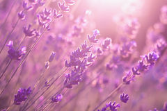 Lavender flowers in sunset Stock Photo