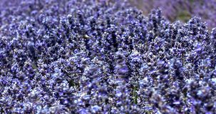 Close view of lavender blossom in Provence in France. Lavender flowers swaying in the wind for background. Close view of blossoms on aromatic plants in Provence stock footage