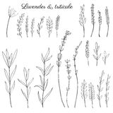 Lavender flowers, triticale herbs hand drawn doodle vector sketch isolated on white, herbal vintage graphic engraving Stock Photo