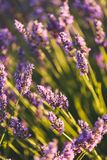 Lavender Flowers in Valensole, Provence, France stock images