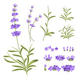 Lavender flowers vector elements. Illustration constructor for greeting cards and invitations Stock Image