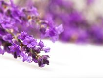 Lavender flowers on white background Royalty Free Stock Photography