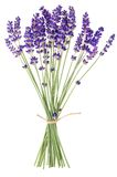 Lavender flowers. On white background stock photo