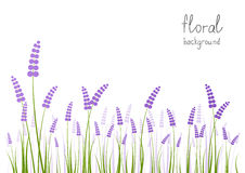 Lavender flowers. On white background Royalty Free Stock Photos