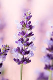 Lavender flowers. Stock Photo