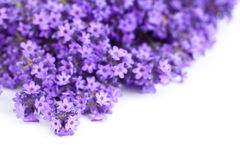 Lavender Flowers. On white background. Copy space. Macro shot stock images
