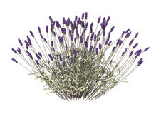 Lavender Flowers on White Royalty Free Stock Images