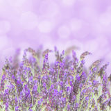 Lavender flowers on white Royalty Free Stock Image