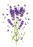 Lavender flowers on white. Fresh provencal plant. Lavender flowers isolated on white. Fresh provencal plant blossoms stock image