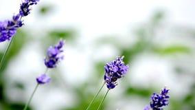 Lavender flowers in wind stock footage