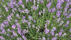 Lavender with fluttering bees stock video footage