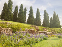 Lavender at the foot of cypress hill Stock Photos