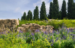 Lavender at the foot of hill. Lavender at the foot of cypress hill Stock Photos