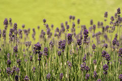 Lavender fragance Royalty Free Stock Photo