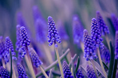 Lavender. Fragrance is certain in life dreams and waking state, light to the soul, and engraved on the bottom of my heart. This light blue purple flower, the Stock Images