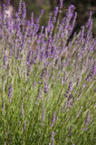 Lavender. Fragrant beautiful lavender field. Europe, Cyprus Stock Images