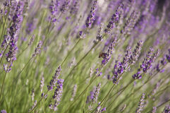 Lavender. Fragrant beautiful lavender field. Europe, Cyprus Royalty Free Stock Photos