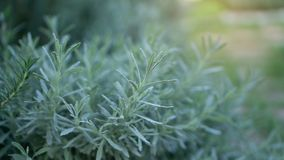 Lavender fragrant herb is edible woody perennial plant in traditional English cottage backyard planting sensory garden stock photography