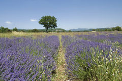 Lavender in France Royalty Free Stock Image