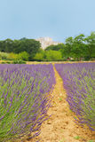 Lavender in French drome Stock Photos
